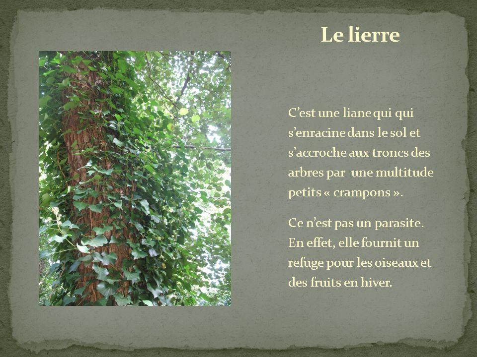 Le lierre C'est une liane qui qui s'enracine dans le sol et s'accroche aux troncs des arbres par une multitude petits « crampons ».