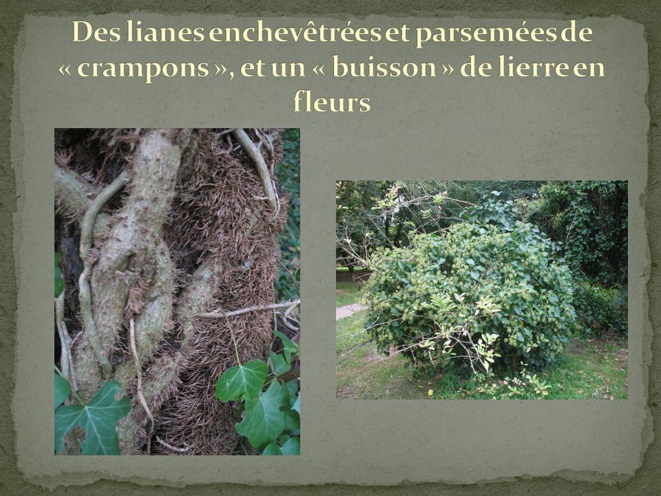 Des lianes enchevêtrées et parsemées de « crampons », et un « buisson » de lierre en fleurs