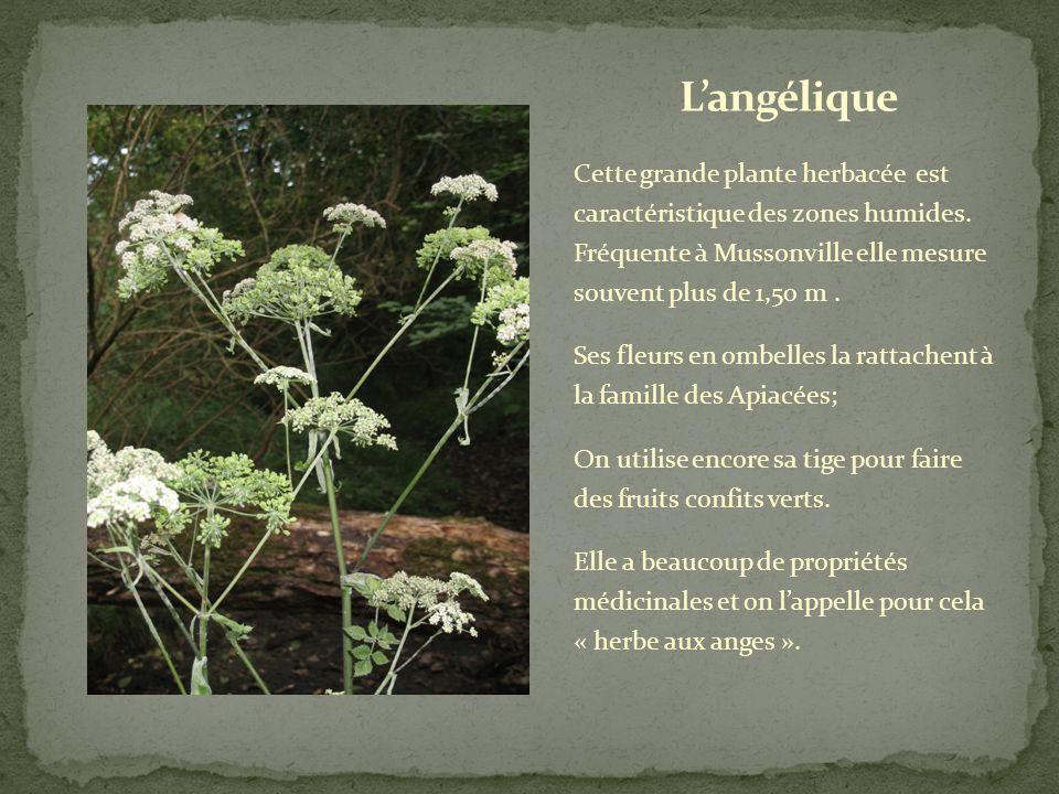 L'angélique Cette grande plante herbacée est caractéristique des zones humides. Fréquente à Mussonville elle mesure souvent plus de 1,50 m .