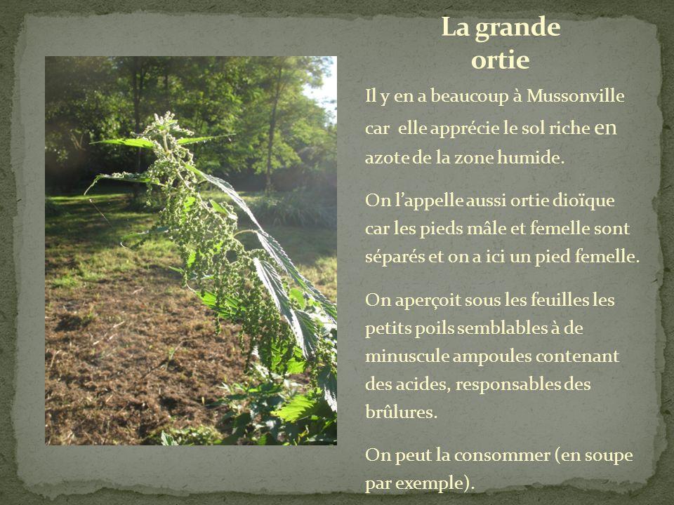 La grande ortie Il y en a beaucoup à Mussonville car elle apprécie le sol riche en azote de la zone humide.