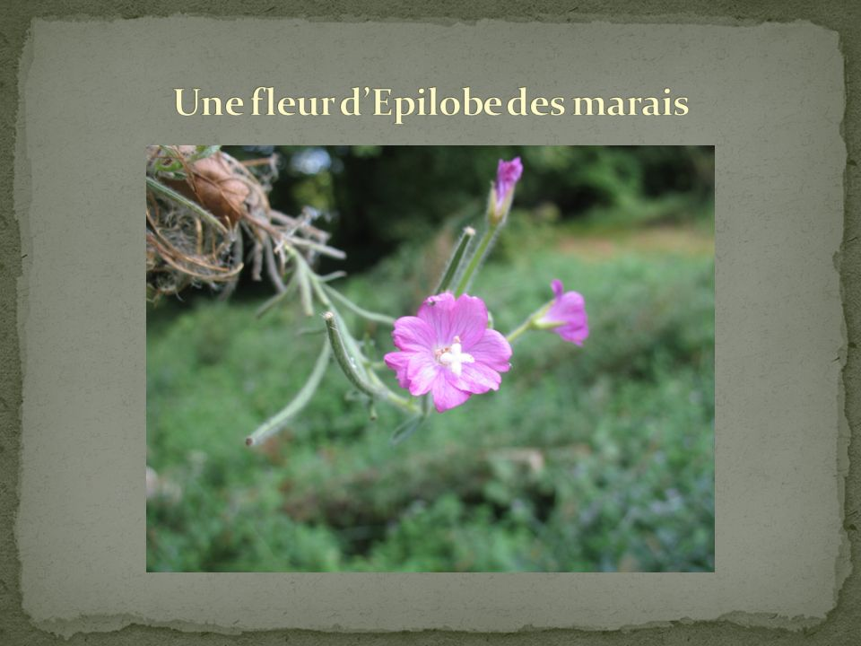 Une fleur d'Epilobe des marais
