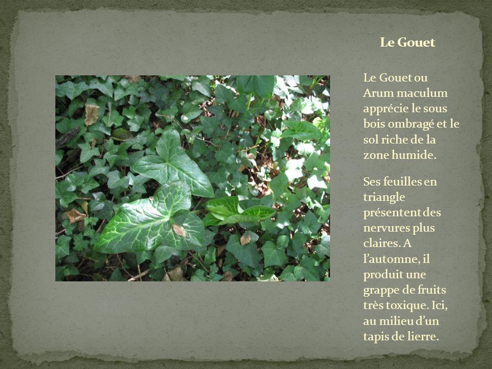 Le Gouet Le Gouet ou Arum maculum apprécie le sous bois ombragé et le sol riche de la zone humide.