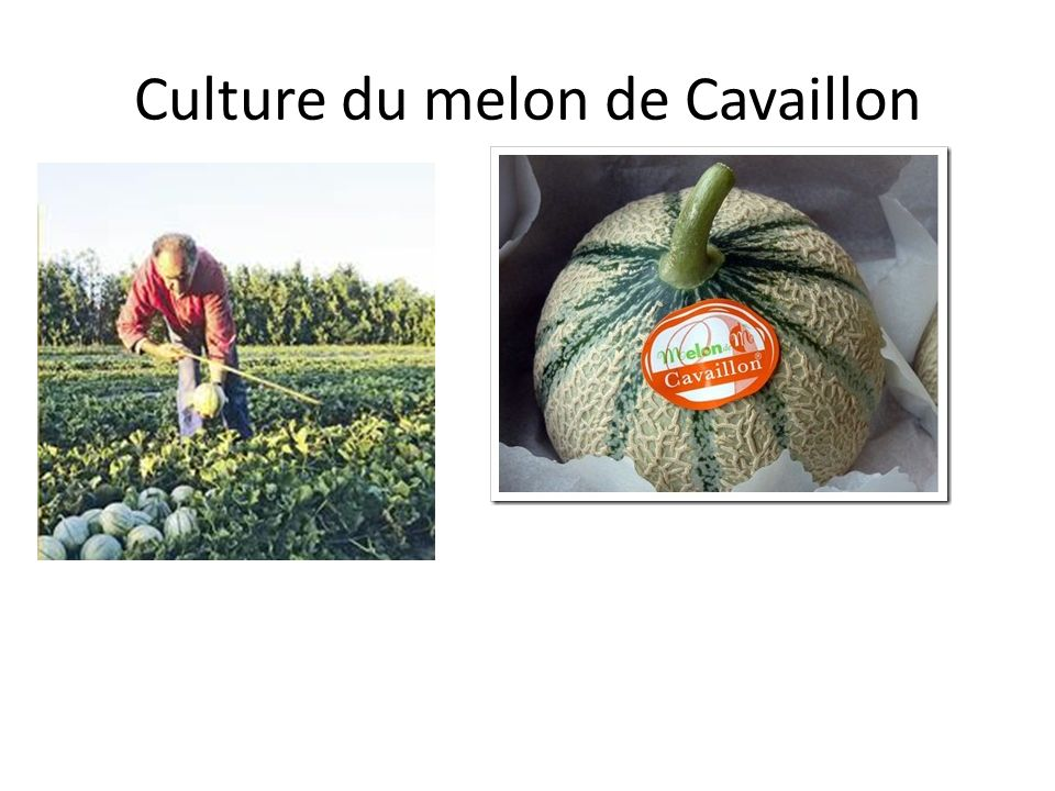 Culture du melon de Cavaillon
