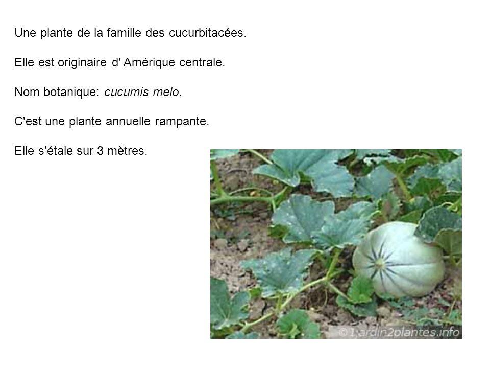 Une plante de la famille des cucurbitacées