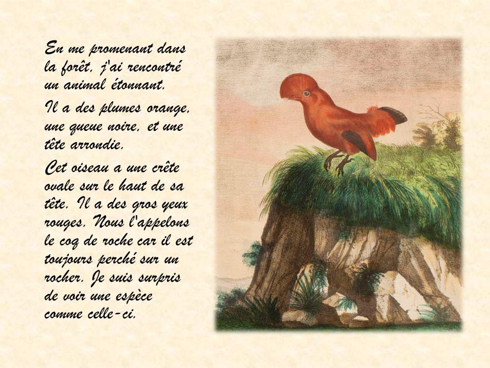 Il a des plumes orange, une queue noire, et une tête arrondie.