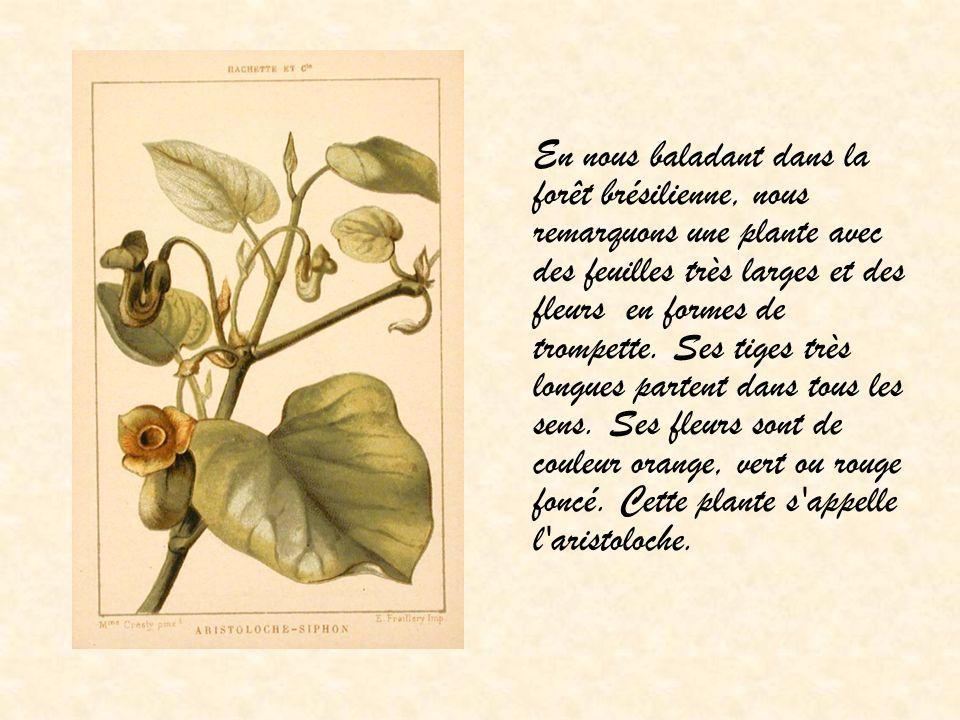 En nous baladant dans la forêt brésilienne, nous remarquons une plante avec des feuilles très larges et des fleurs en formes de trompette.