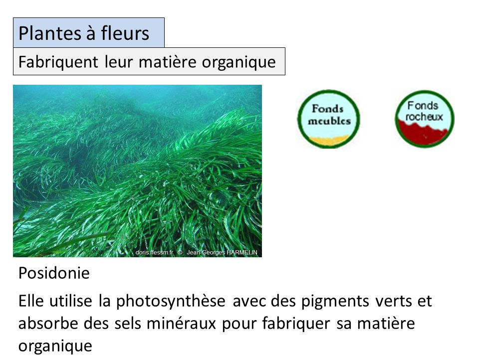 Plantes à fleurs Fabriquent leur matière organique Posidonie