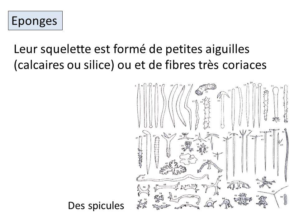 Eponges Leur squelette est formé de petites aiguilles (calcaires ou silice) ou et de fibres très coriaces.