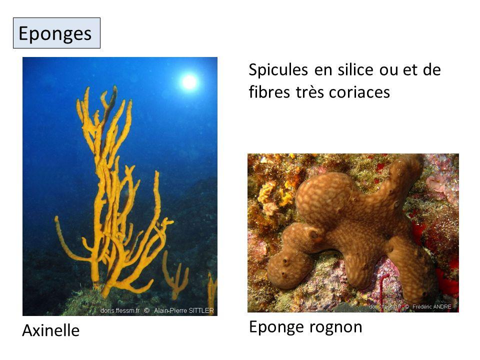 Eponges Spicules en silice ou et de fibres très coriaces Eponge rognon