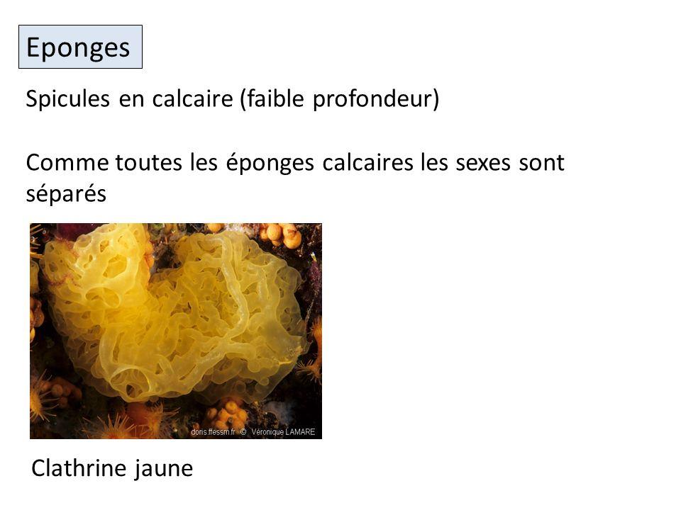 Eponges Spicules en calcaire (faible profondeur)