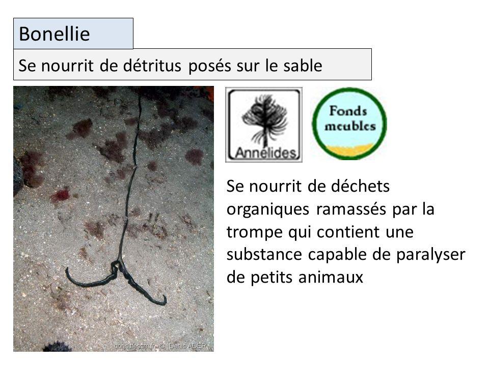Bonellie Se nourrit de détritus posés sur le sable