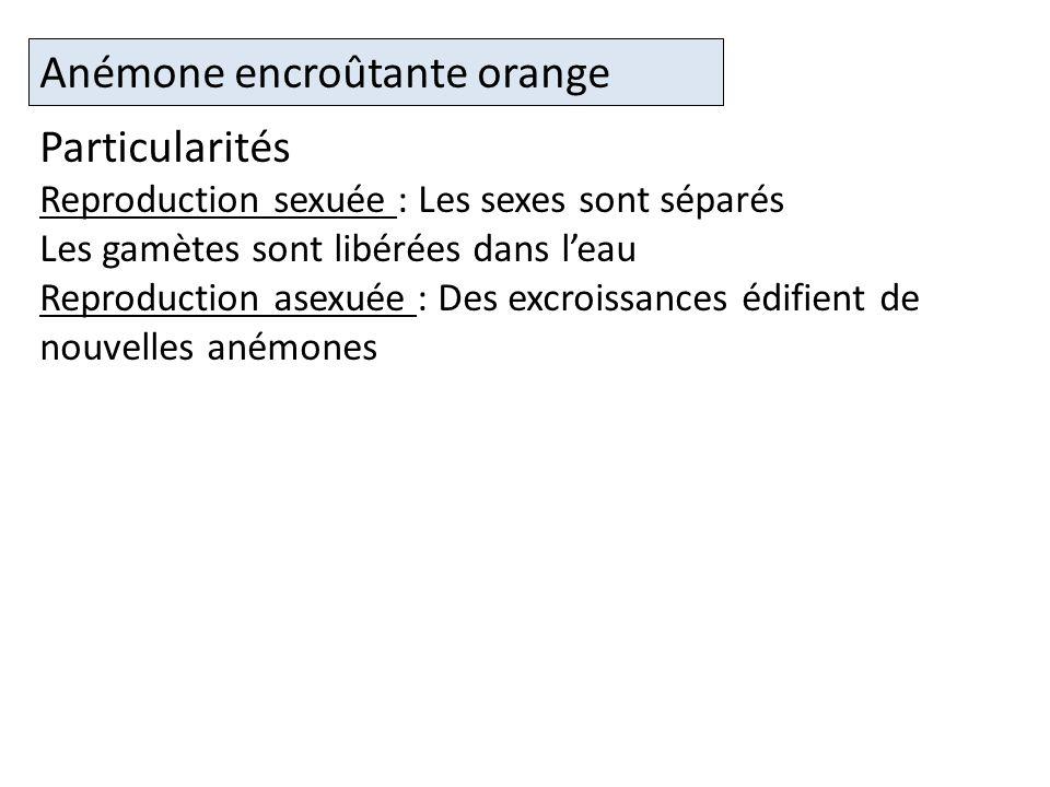 Anémone encroûtante orange