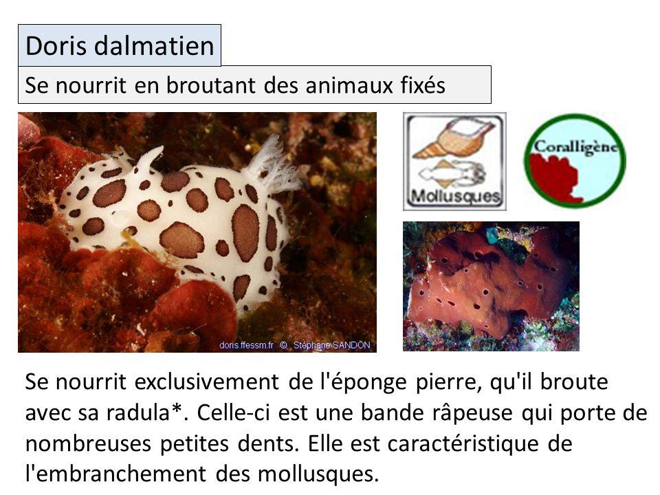 Doris dalmatien Se nourrit en broutant des animaux fixés
