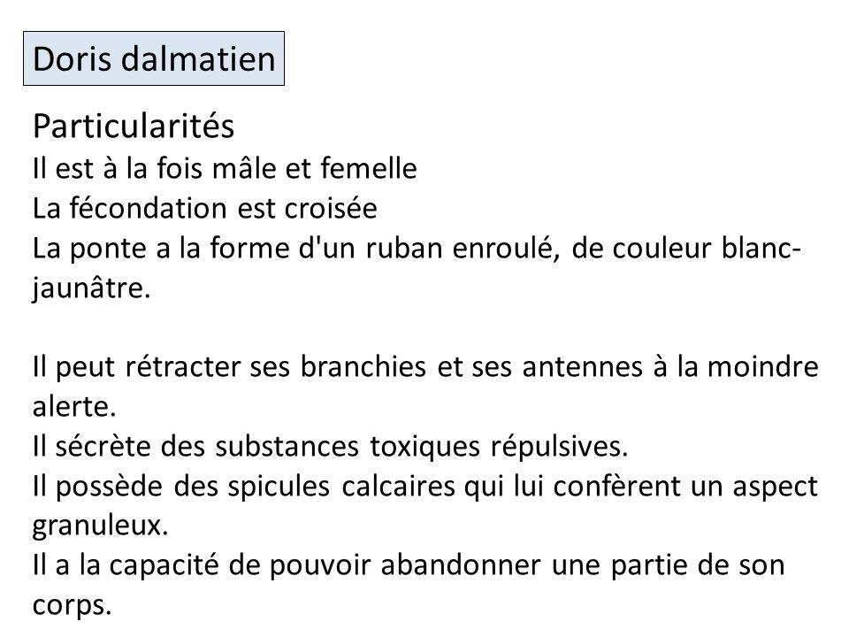 Doris dalmatien Particularités Il est à la fois mâle et femelle