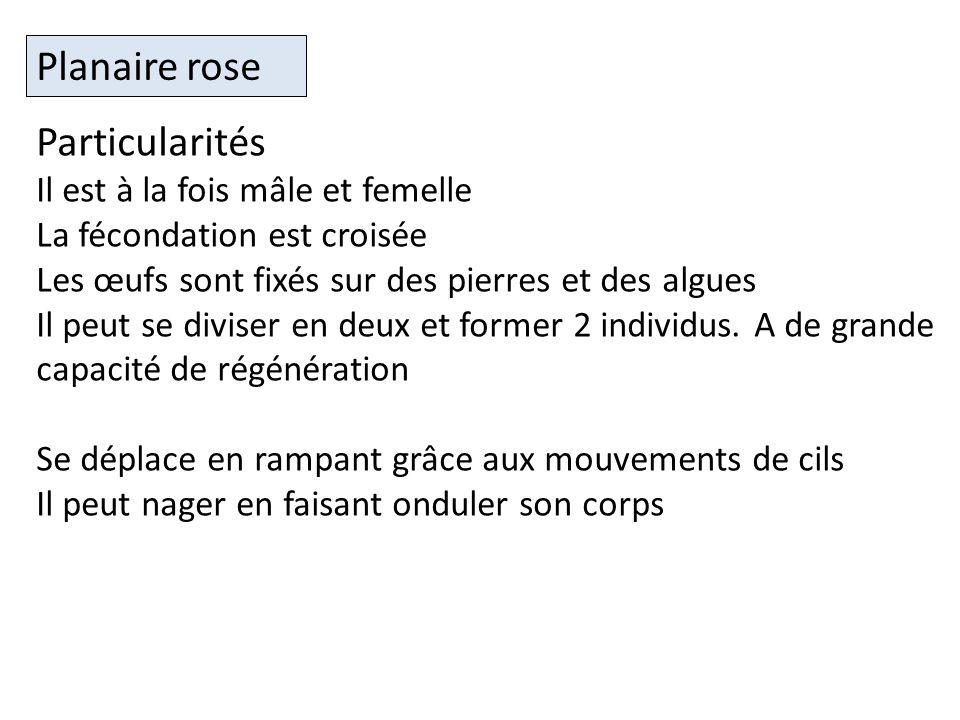 Planaire rose Particularités Il est à la fois mâle et femelle
