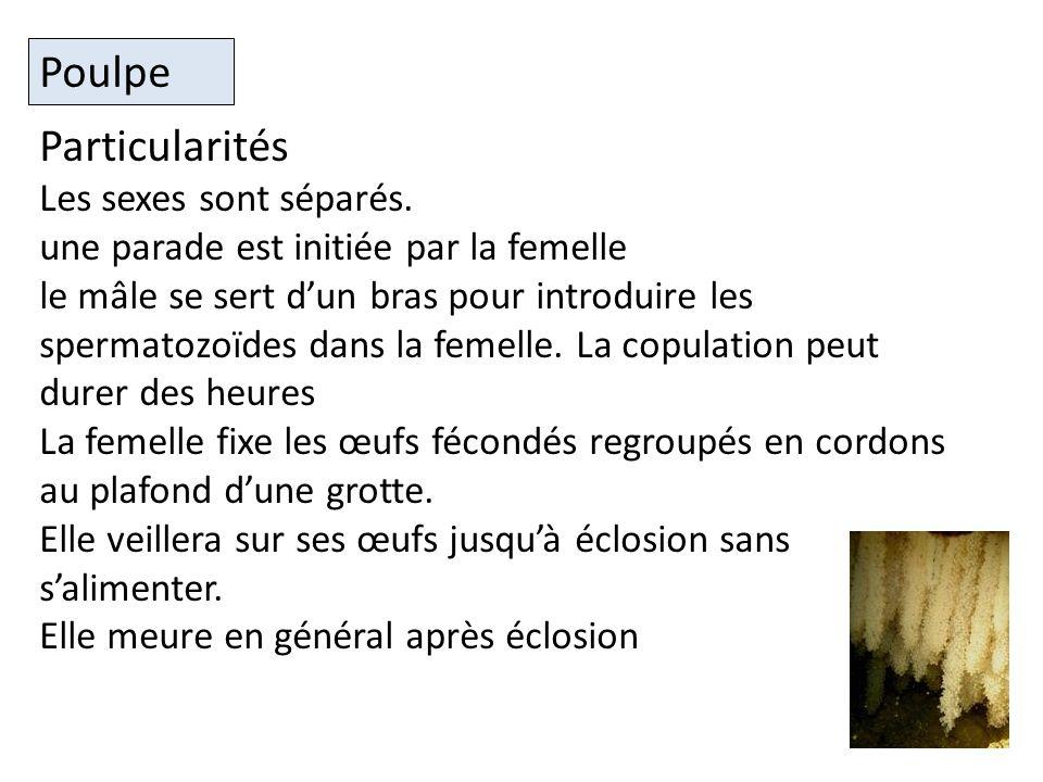 Poulpe Particularités Les sexes sont séparés.