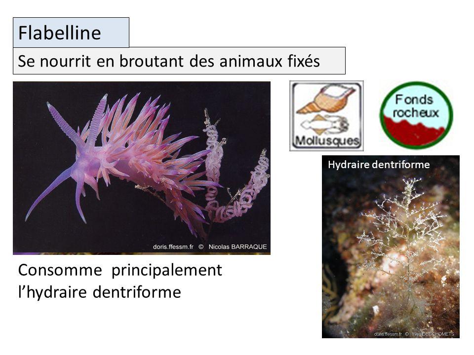 Flabelline Se nourrit en broutant des animaux fixés
