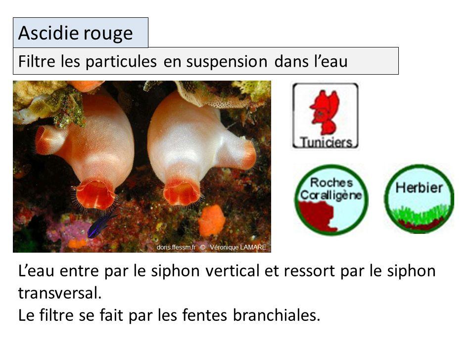 Ascidie rouge Filtre les particules en suspension dans l'eau