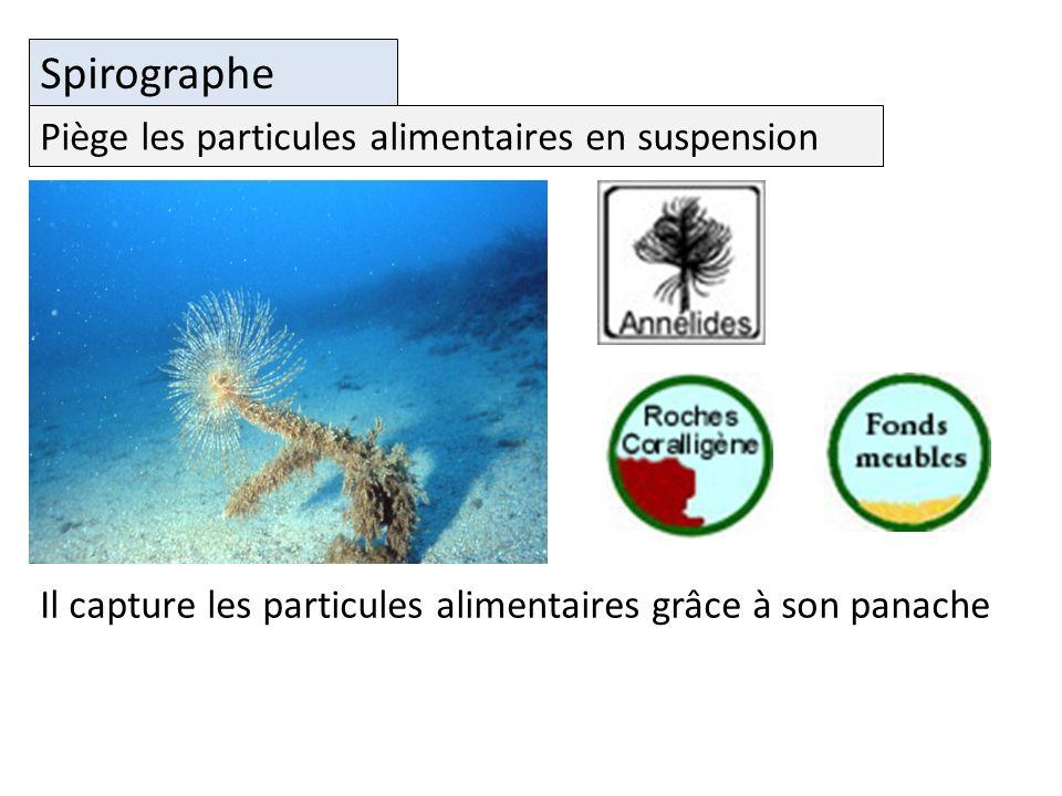 Spirographe Piège les particules alimentaires en suspension