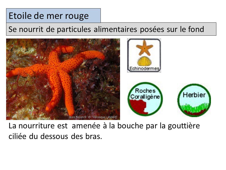 Etoile de mer rouge Se nourrit de particules alimentaires posées sur le fond.