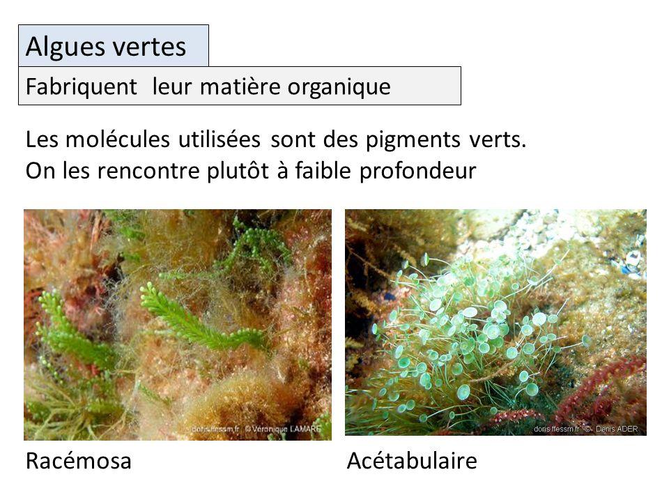 Algues vertes Fabriquent leur matière organique