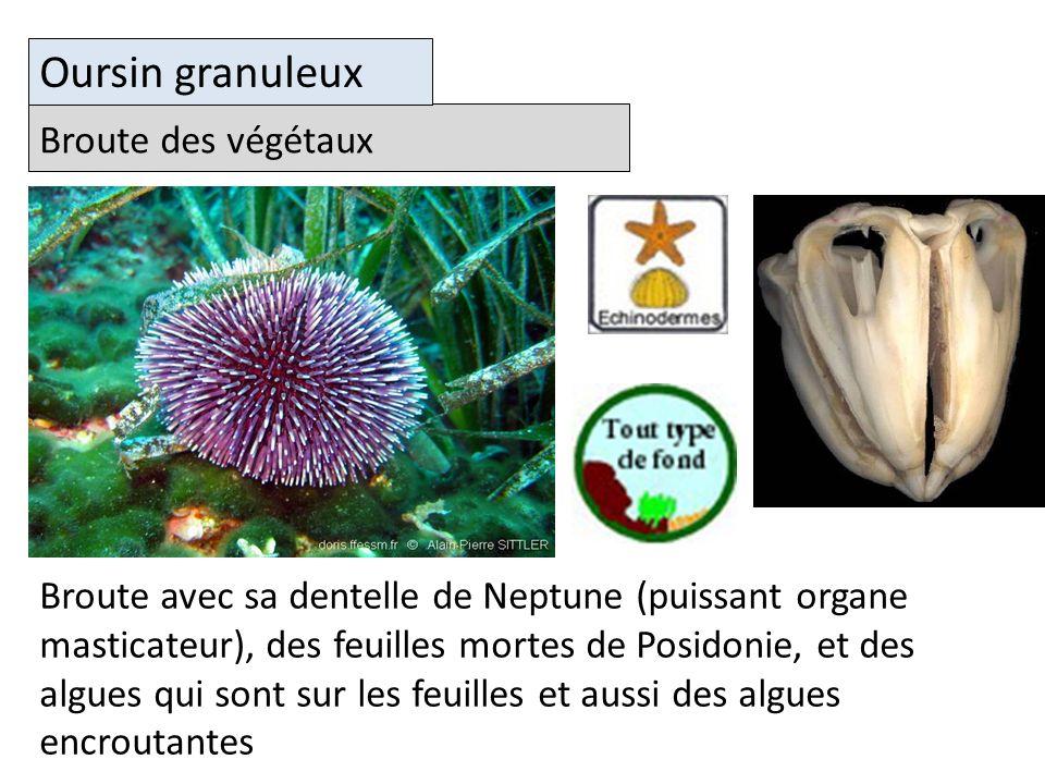 Oursin granuleux Broute des végétaux