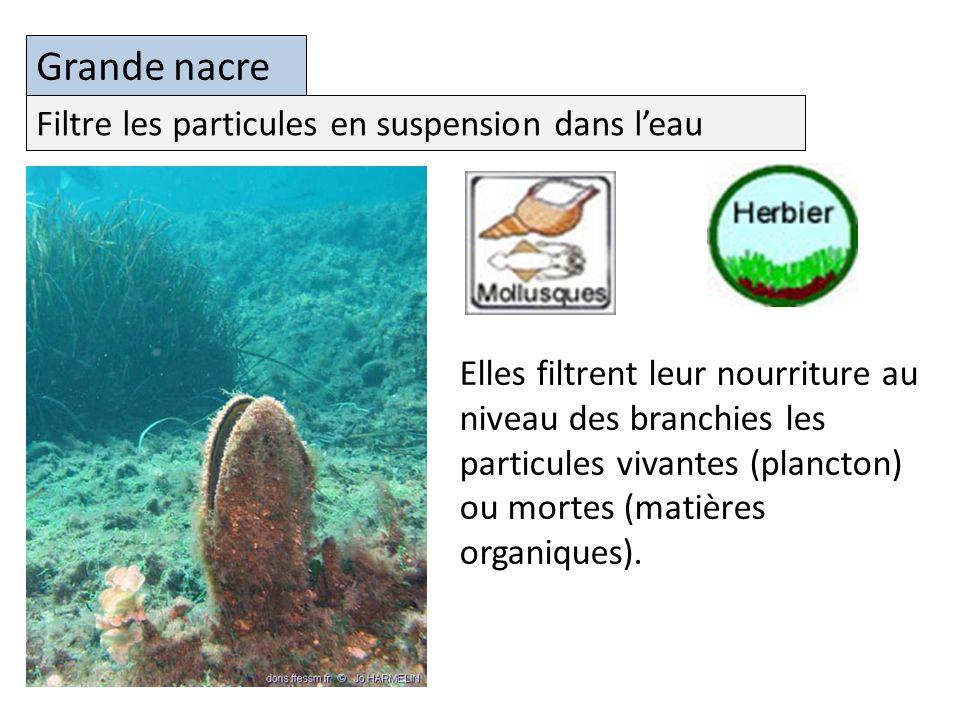 Grande nacre Filtre les particules en suspension dans l'eau