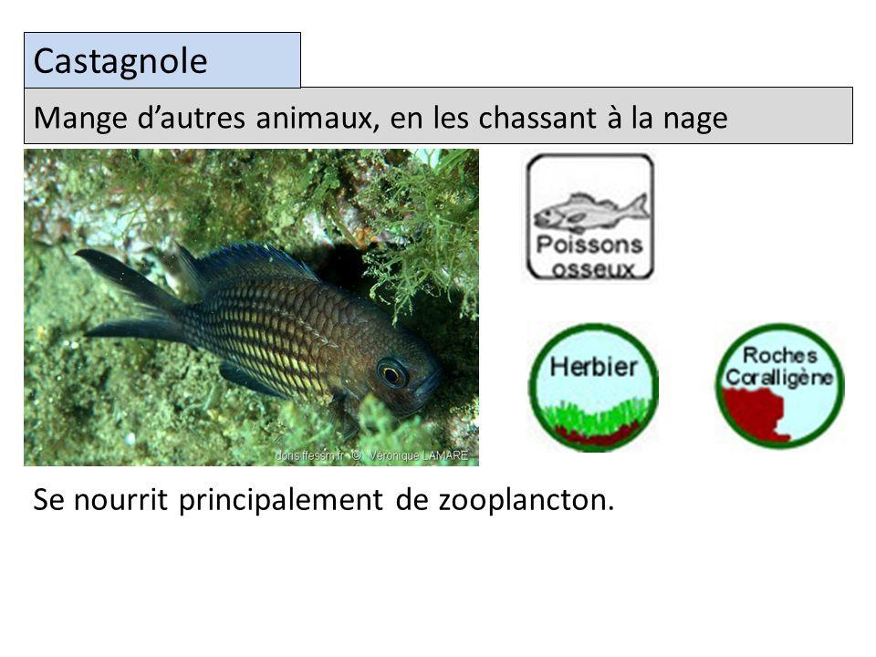 Castagnole Mange d'autres animaux, en les chassant à la nage
