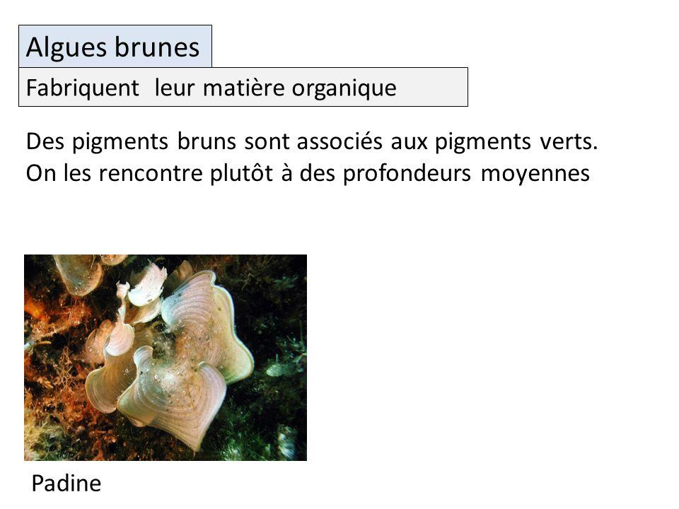 Algues brunes Fabriquent leur matière organique