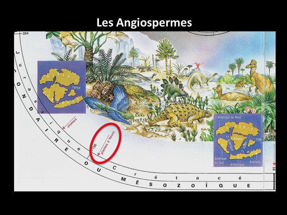 Les Angiospermes Plantes à fleurs = plus grande biodiversité parmi les végétaux (300 000 espèces) Depuis 130 Ma.