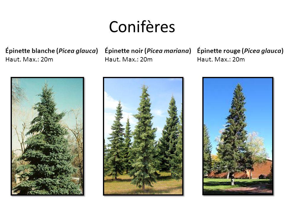 Conifères Épinette blanche (Picea glauca) Haut. Max.: 20m