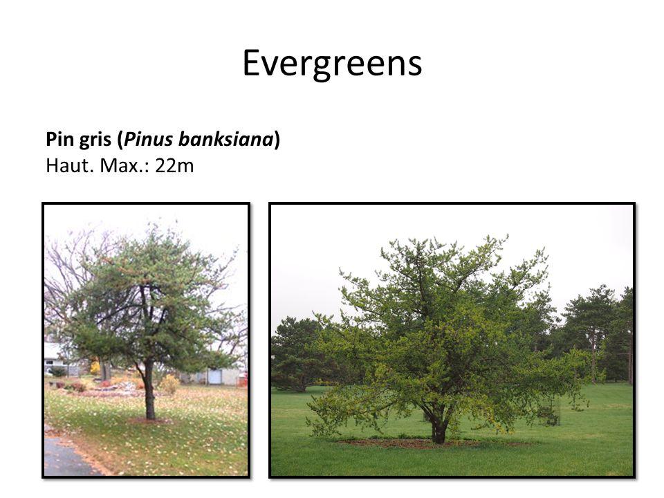 Evergreens Pin gris (Pinus banksiana) Haut. Max.: 22m