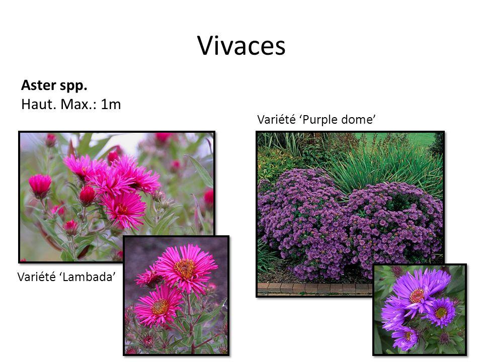 Vivaces Aster spp. Haut. Max.: 1m Variété 'Purple dome'