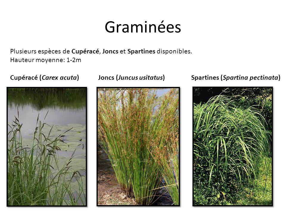 Graminées Plusieurs espèces de Cupéracé, Joncs et Spartines disponibles. Hauteur moyenne: 1-2m. Cupéracé (Carex acuta)
