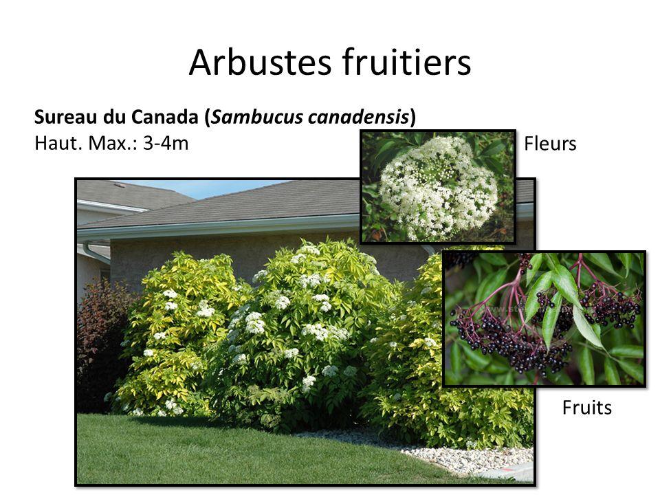 Arbustes fruitiers Sureau du Canada (Sambucus canadensis)