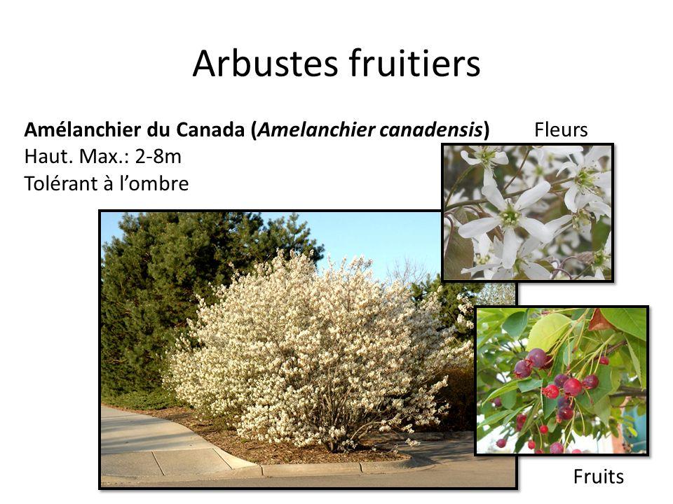 Arbustes fruitiers Amélanchier du Canada (Amelanchier canadensis)
