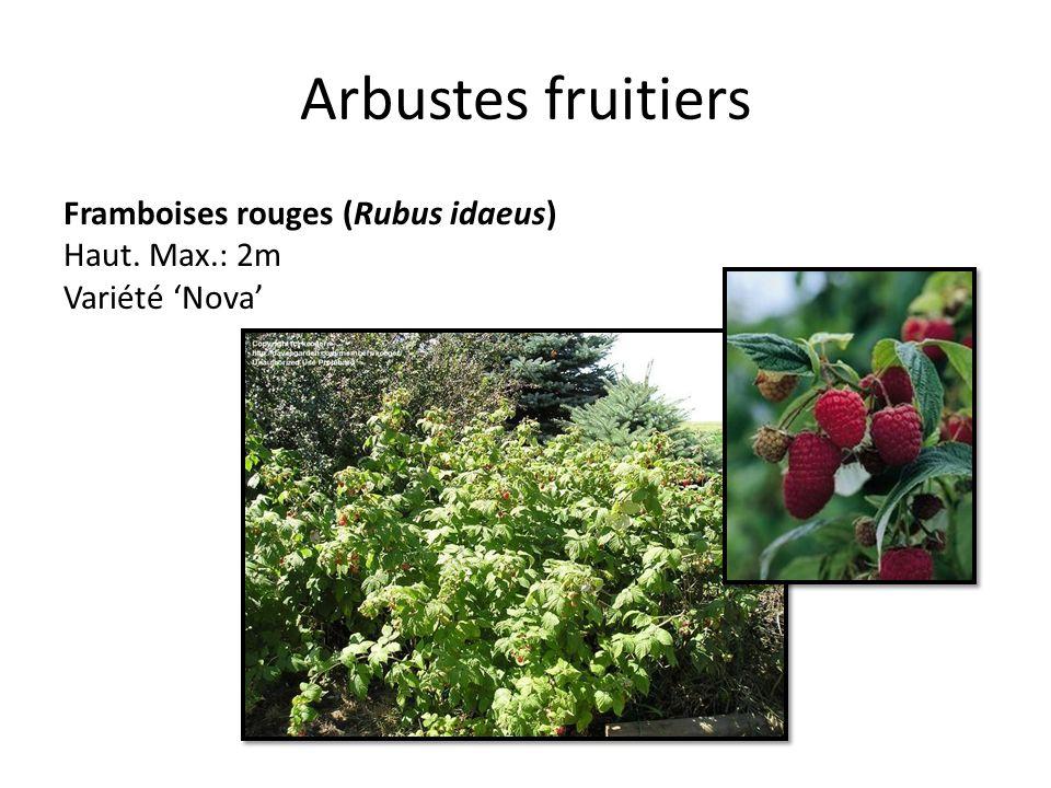 Arbustes fruitiers Framboises rouges (Rubus idaeus) Haut. Max.: 2m