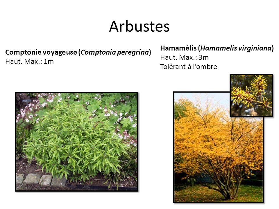 Arbustes Hamamélis (Hamamelis virginiana)