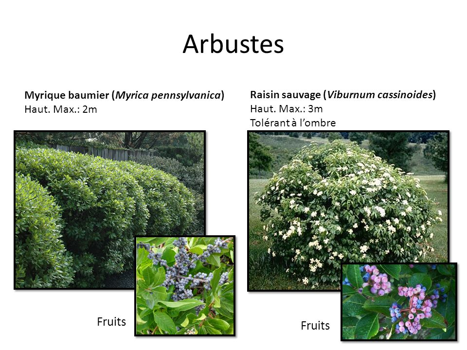 Arbustes Fruits Fruits Myrique baumier (Myrica pennsylvanica)