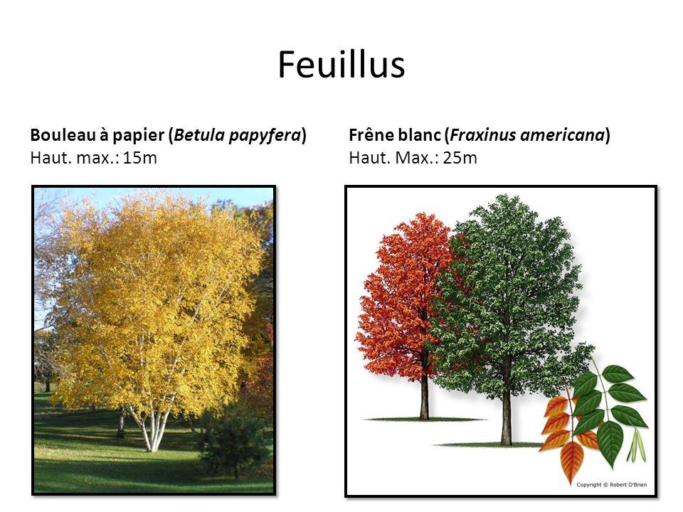 Feuillus Bouleau à papier (Betula papyfera) Haut. max.: 15m