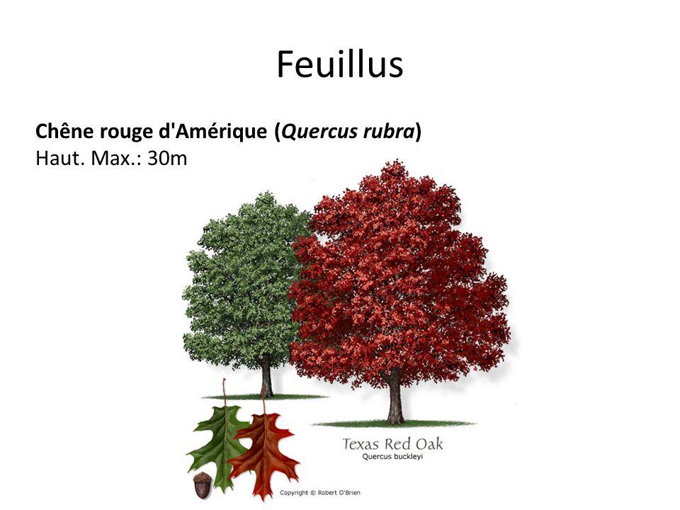 Feuillus Chêne rouge d Amérique (Quercus rubra) Haut. Max.: 30m
