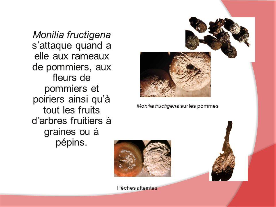 Monilia fructigena s'attaque quand a elle aux rameaux de pommiers, aux fleurs de pommiers et poiriers ainsi qu'à tout les fruits d'arbres fruitiers à graines ou à pépins.