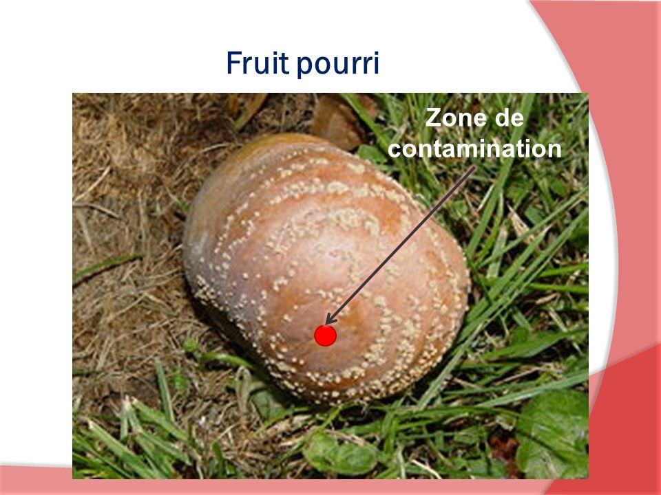 Fruit pourri Zone de contamination