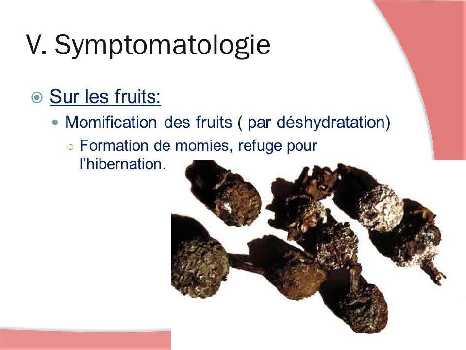 V. Symptomatologie Sur les fruits: