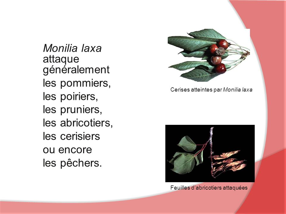 Monilia laxa attaque généralement les pommiers, les poiriers,