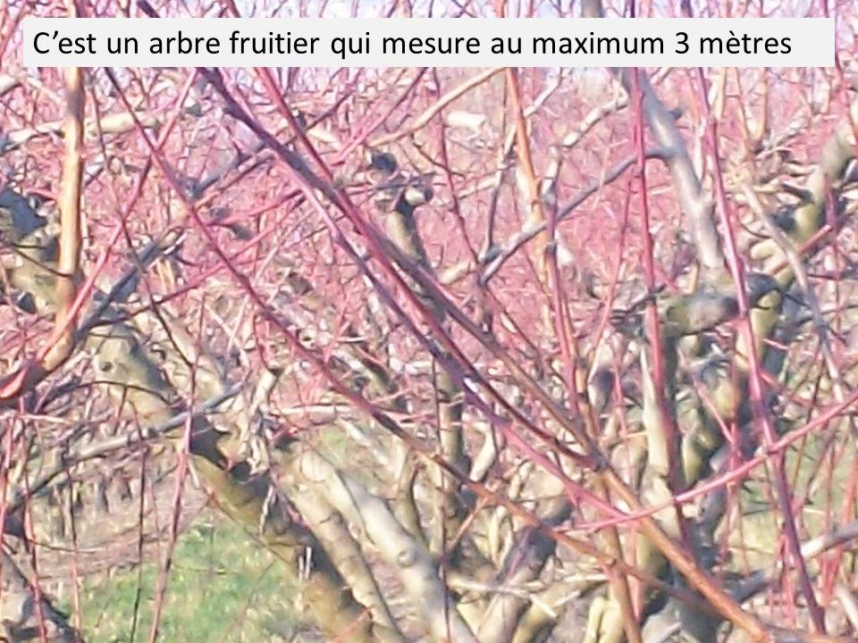 C'est un arbre fruitier qui mesure au maximum 3 mètres