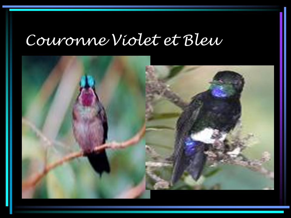Couronne Violet et Bleu