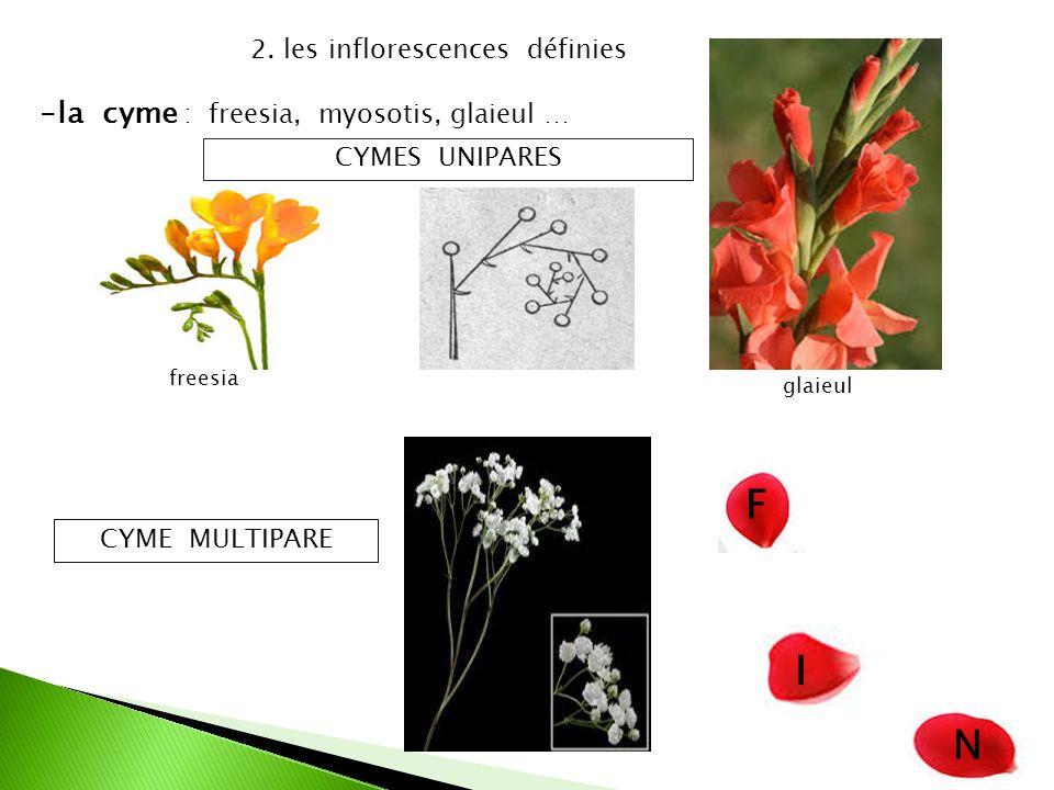 F I N la cyme : freesia, myosotis, glaieul …