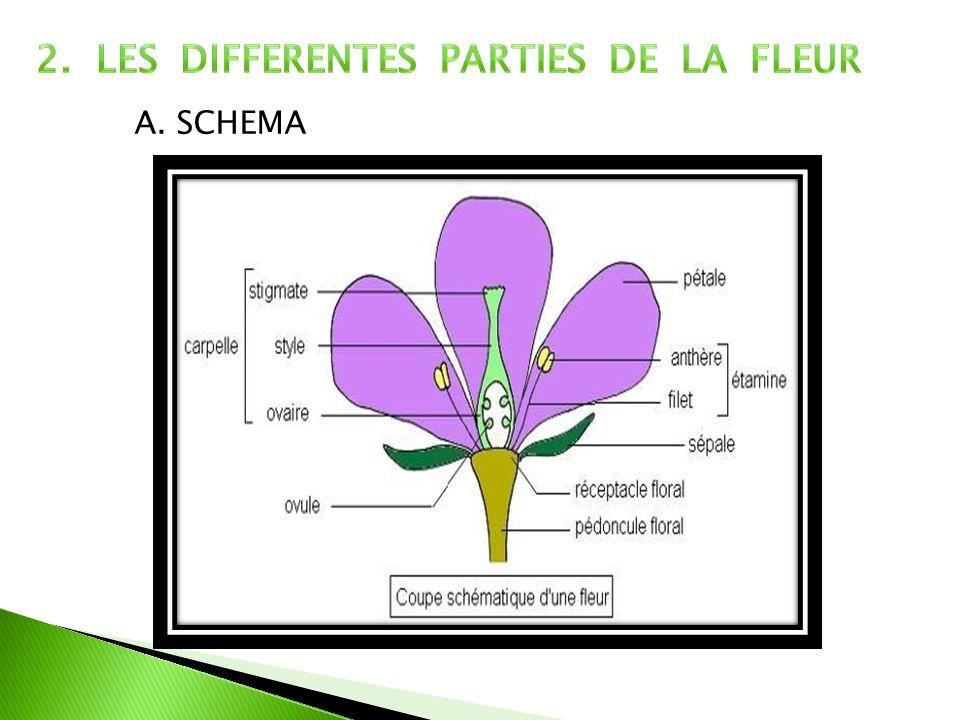 2. LES DIFFERENTES PARTIES DE LA FLEUR