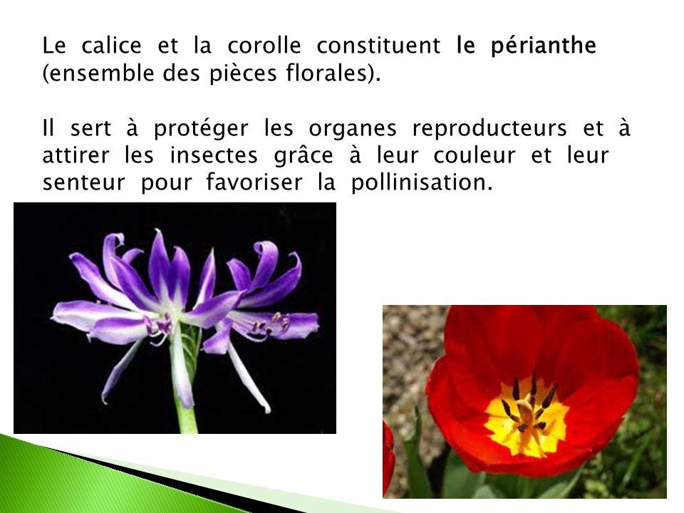 Le calice et la corolle constituent le périanthe (ensemble des pièces florales).